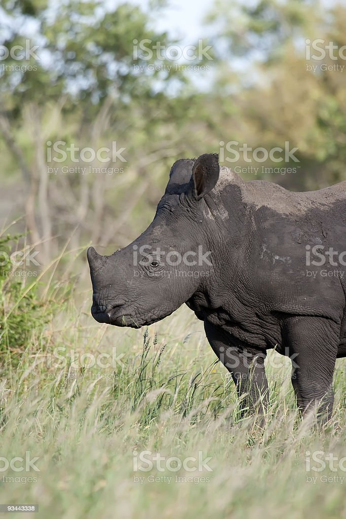 Rhino baby Füttern Lizenzfreies stock-foto