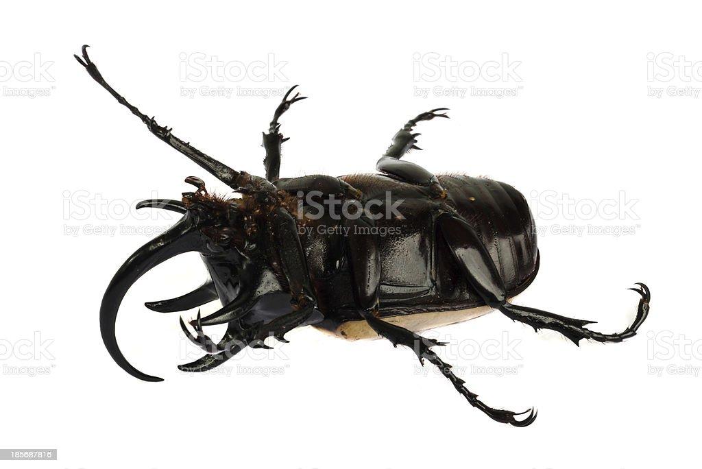 rhino beetle bug. royalty-free stock photo