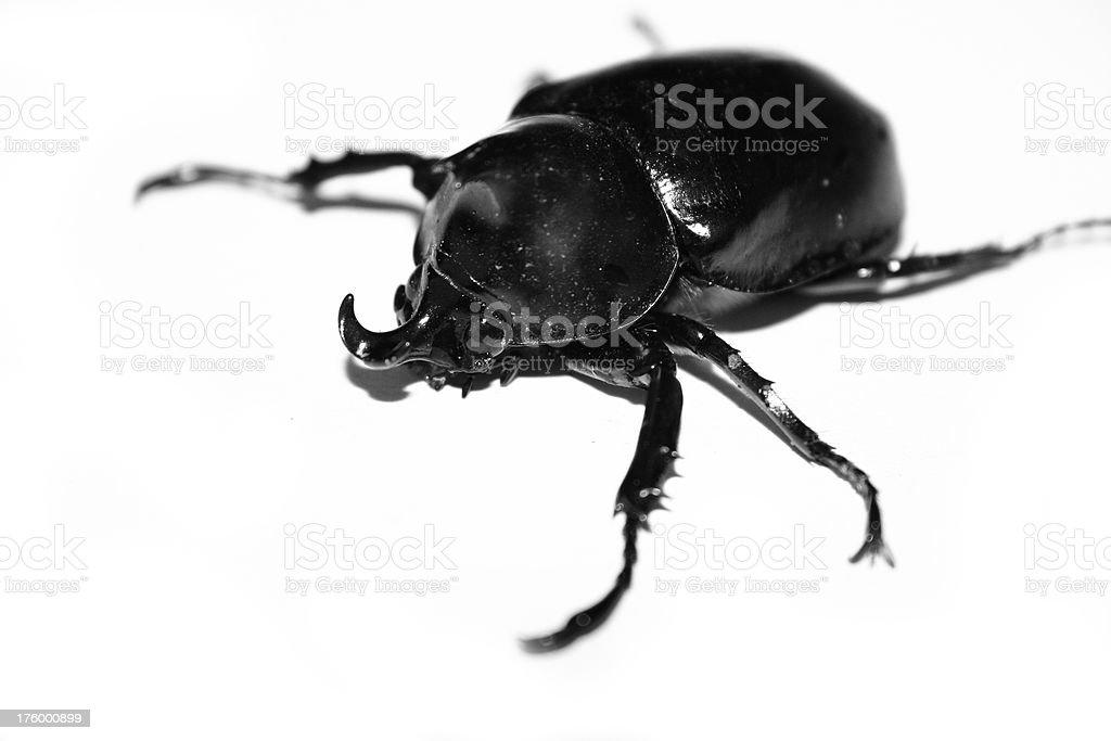 Rhino beetle (black & white) royalty-free stock photo