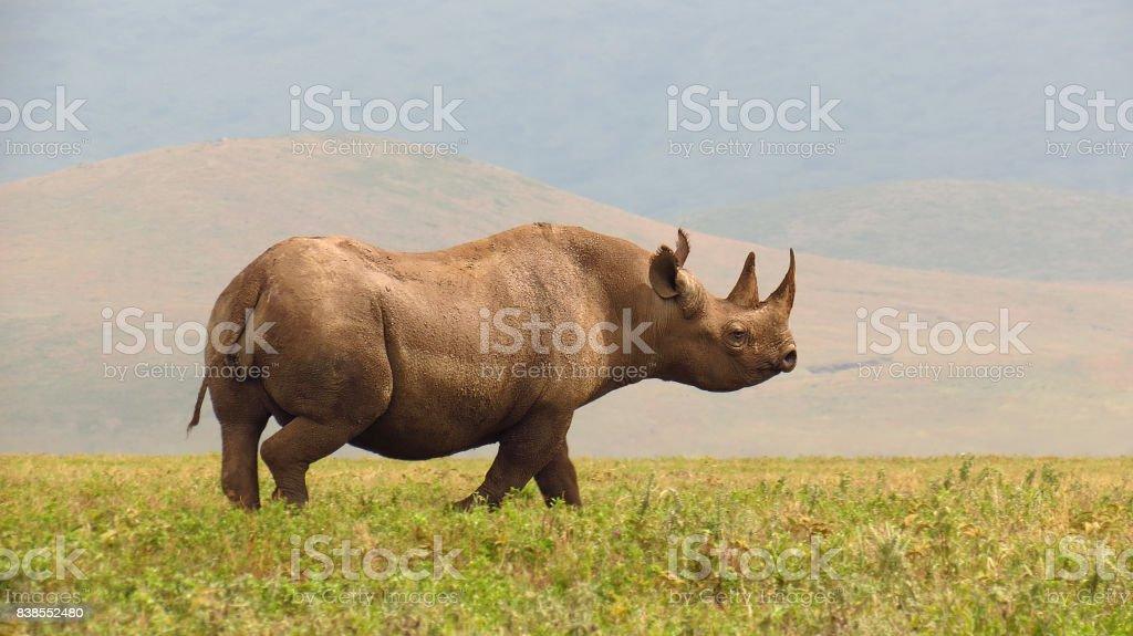 Rhino black savanna wildlife safari animals Ngorongoro Tanzania Africa horn stock photo