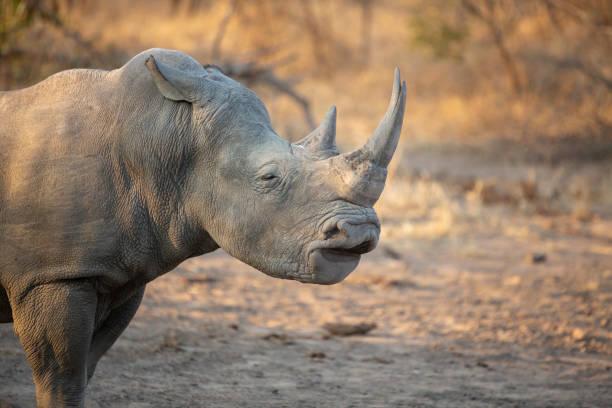 Rhino bull displaying the flehman grimace – zdjęcie