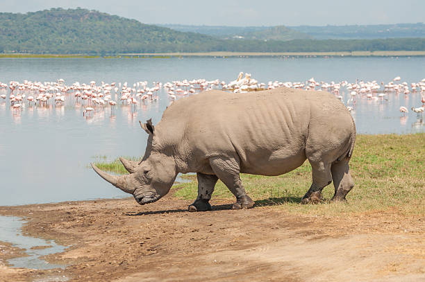 Rhino by the Lake A white Rhinoceros walks towards the flamingo filled lake to drink water. animals with big penis stock pictures, royalty-free photos & images