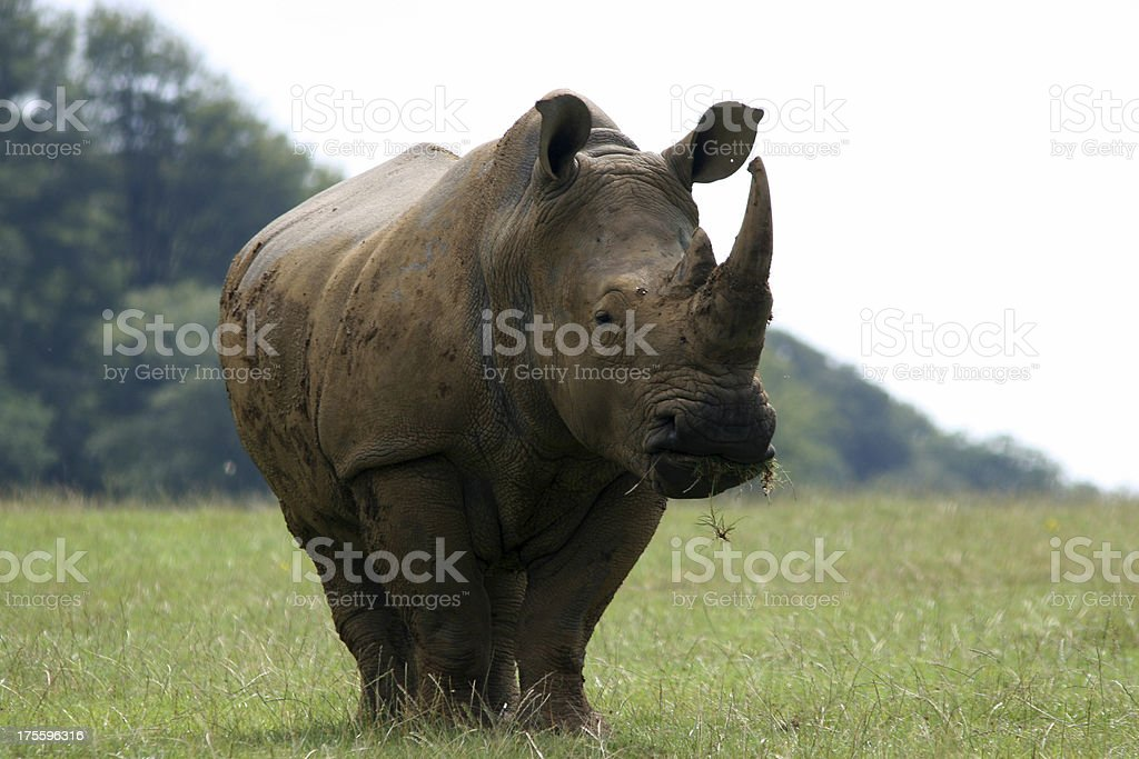 Rhino Close Up royalty-free stock photo