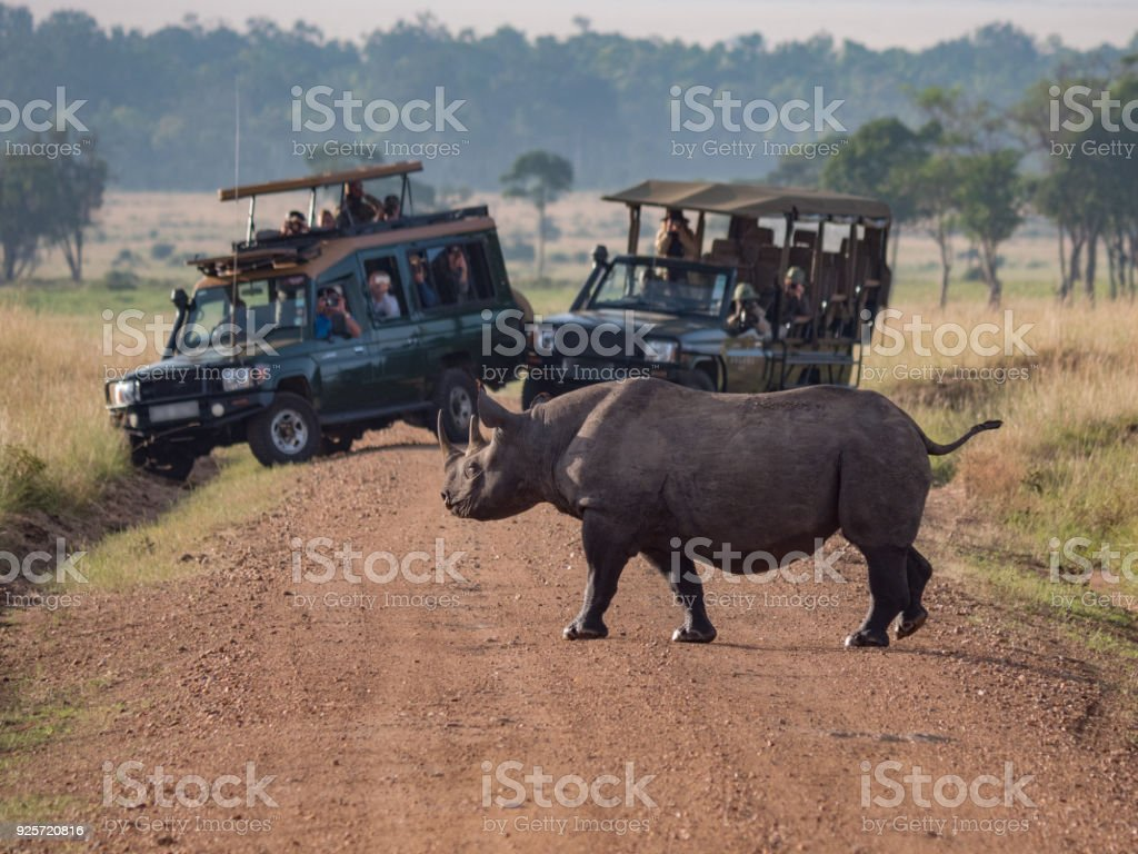 Rhino Crossing the Road in Africa stock photo