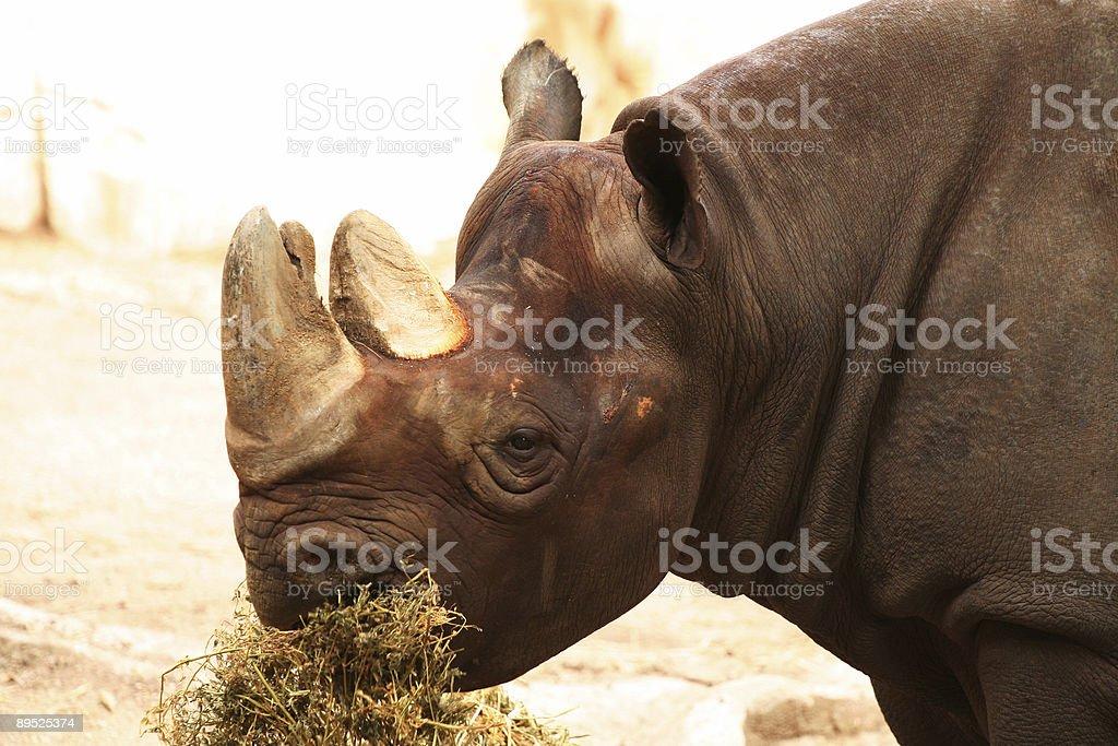 Rhino eating royalty-free stock photo