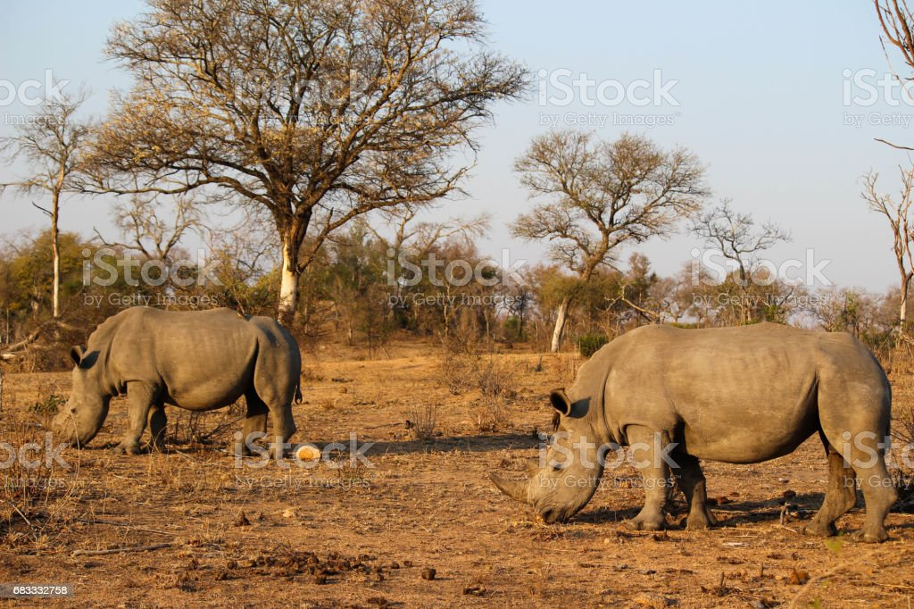 Rhino facing difficult eating conditions in drought royalty-free stock photo