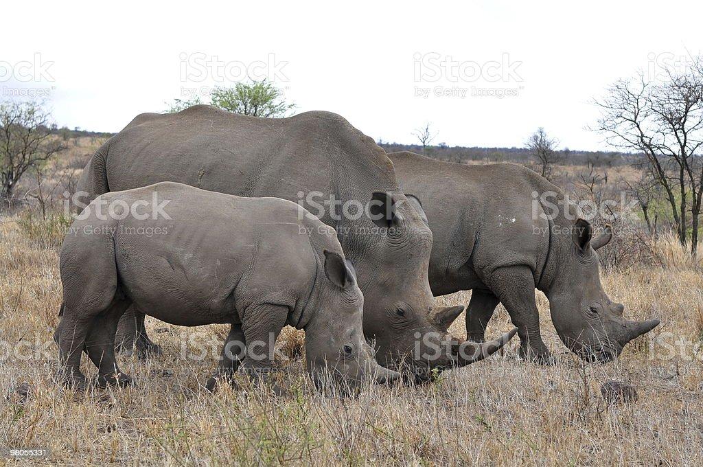Rhino famiglia con 2 Vitello, foto stock royalty-free