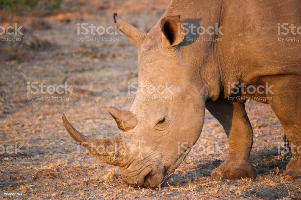 Rhino grazing in South African sun royalty-free stock photo