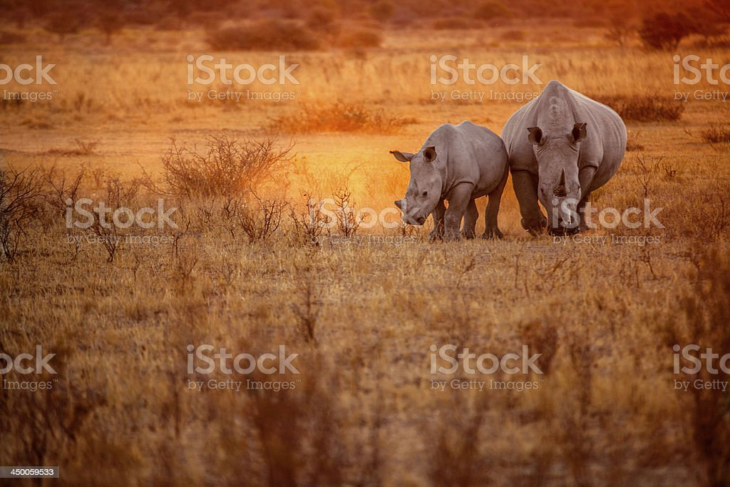 Rhino grazing stock photo