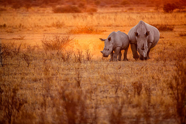 Rhino grazing Rhino grazing rhinoceros stock pictures, royalty-free photos & images