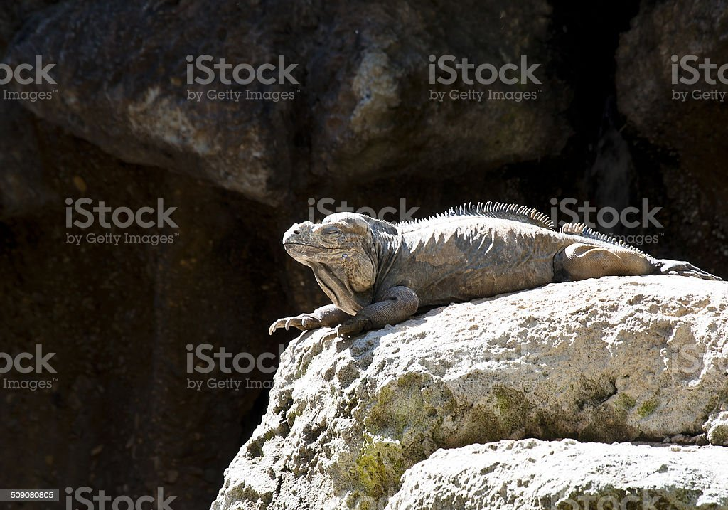 Rhino Iguana stock photo