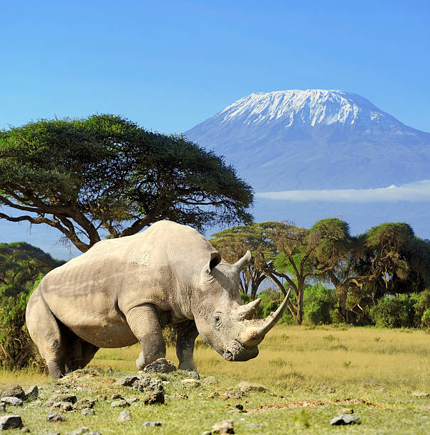 Rhino in front of Kilimanjaro mountain Rhino in front of Kilimanjaro mountain - Amboseli national park Kenya rhinoceros stock pictures, royalty-free photos & images