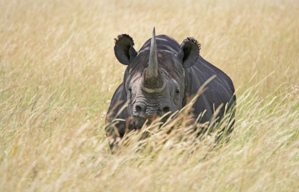 Rhinocéros dans le Serengeti - Photo