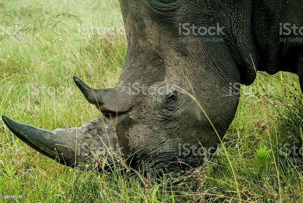 Rhino in South Africa stock photo