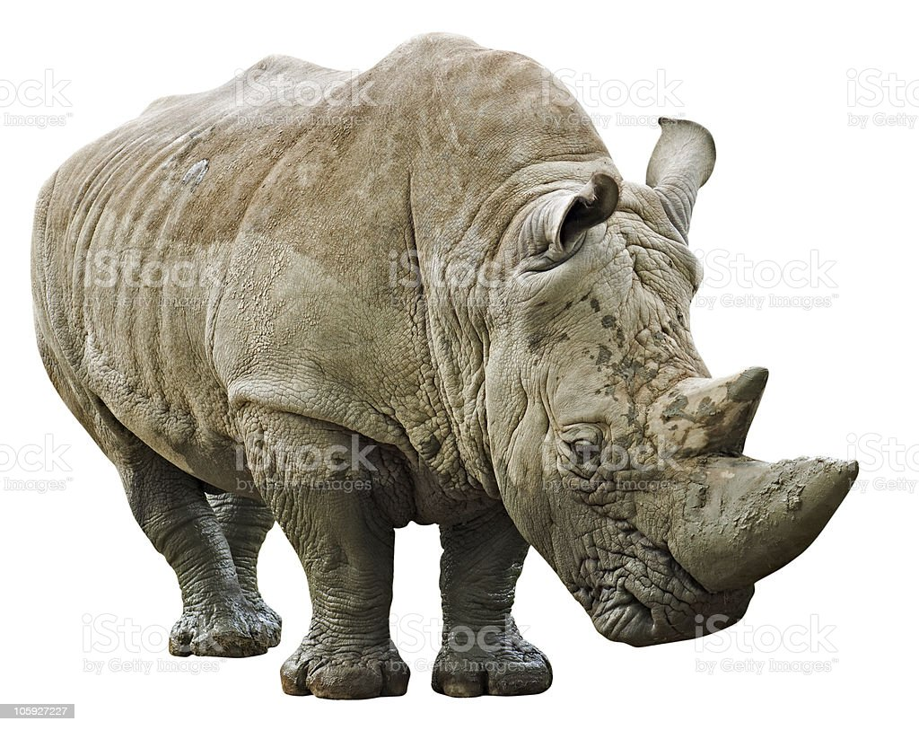 Rhino isolated on white background with clipping path stock photo