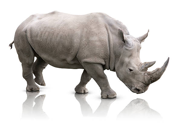 Rhino isolated White Rhino - Ceratotherium simum rhinoceros stock pictures, royalty-free photos & images