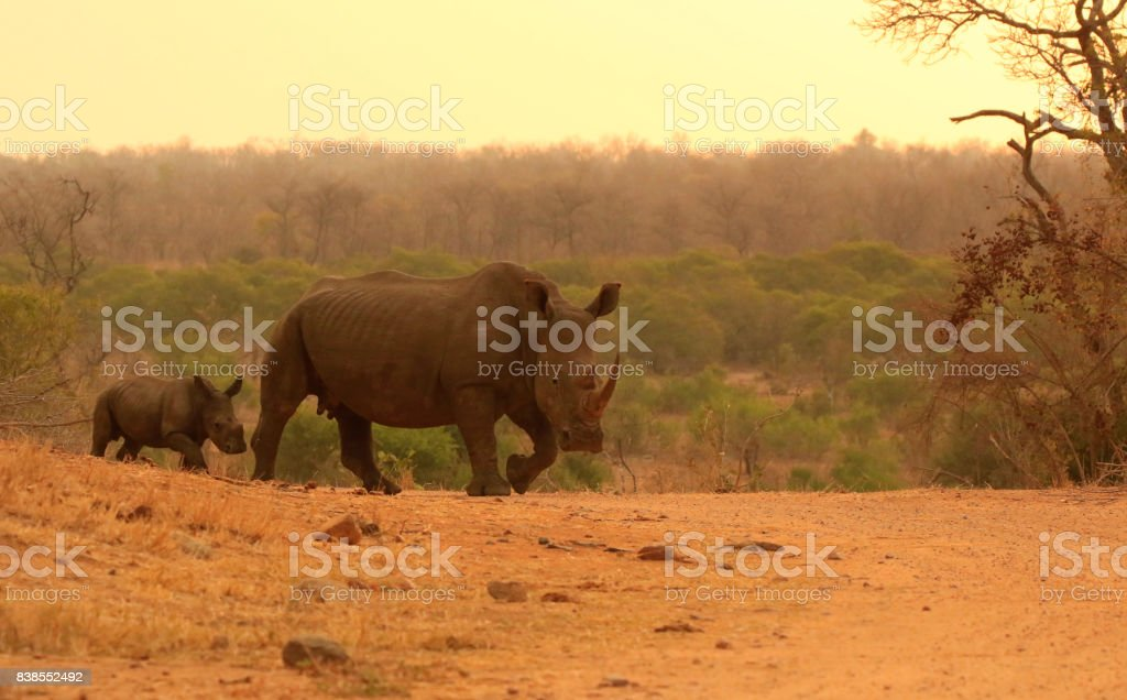 Rhino mother African lowveld savanna calf animal wildlife bush land Kruger - Royalty-free Africa Stock Photo