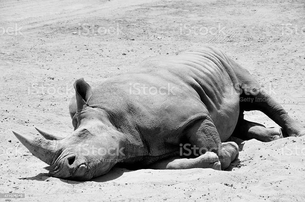 Rhino Napping royalty-free stock photo