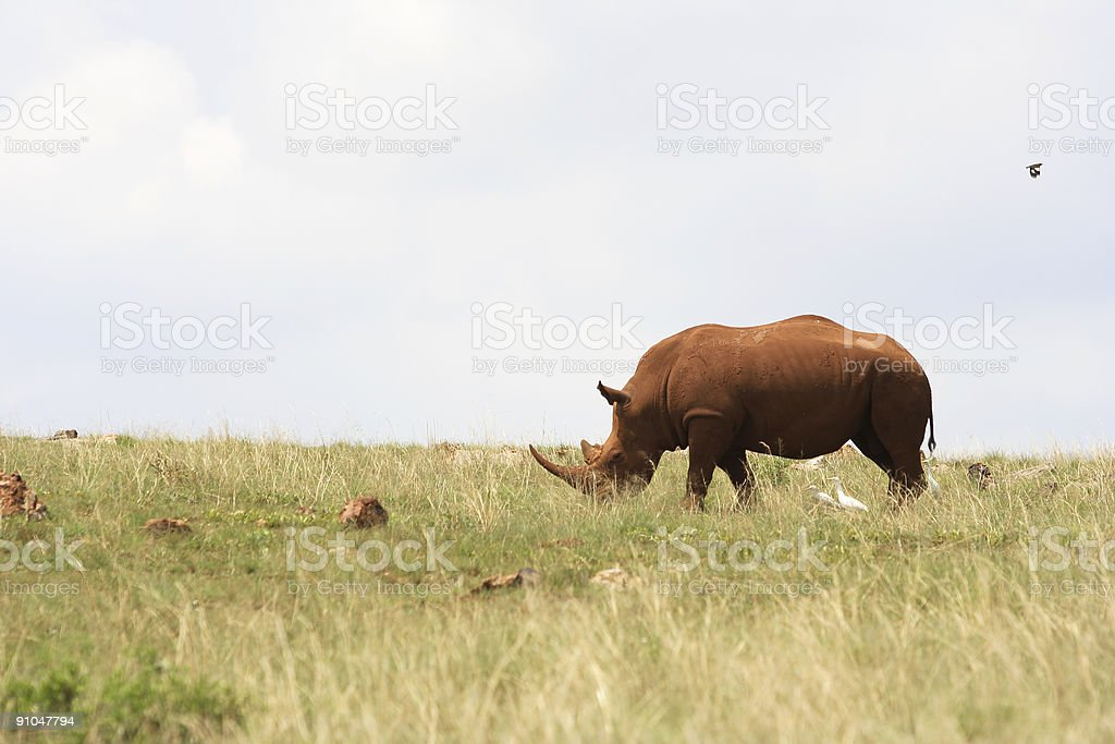 Rhino on a Hill royalty-free stock photo