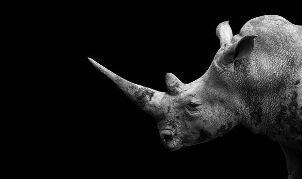 Rhino on the black background Rhino on the black background poaching animal welfare stock pictures, royalty-free photos & images