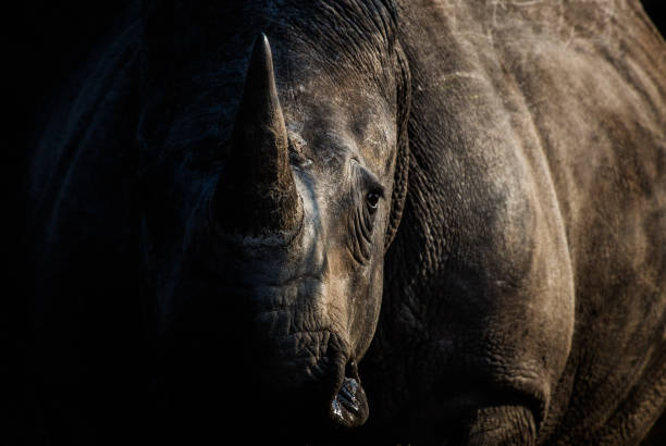 Rhino A moody shot of a rhinoceros rhinoceros stock pictures, royalty-free photos & images