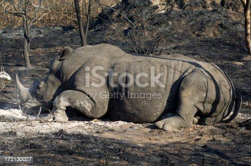 Rhinoceros resting in Sabi Sand private reserve near Kruger Park South Africa