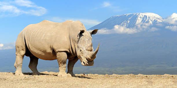 Rhino African white rhino on Kilimanjaro mount background, National park of Kenya white rhinoceros stock pictures, royalty-free photos & images