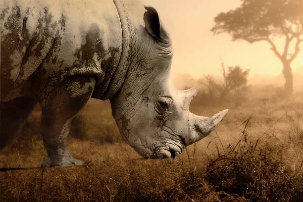 rhino - Photo