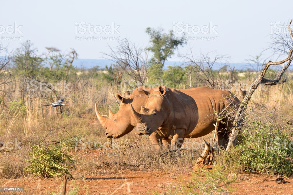 Rhino – Foto