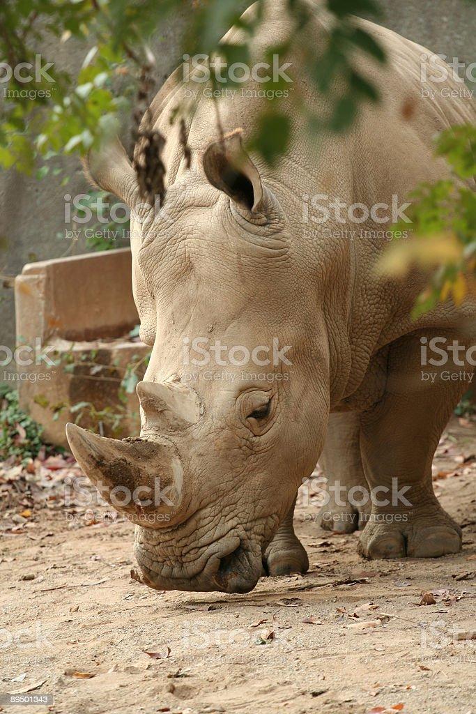 Rhino foto stock royalty-free