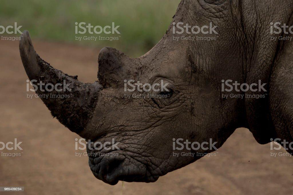 Rhino zbiór zdjęć royalty-free