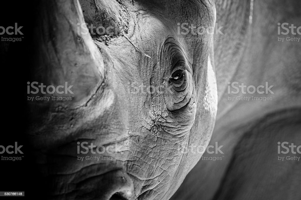 Rhino Portrait stock photo
