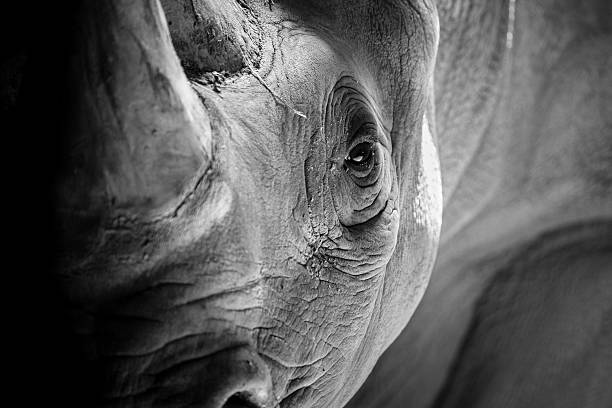 Rhino Portrait An up close and detailed portrait of a rhino in contrasting light and shadows. rhinoceros stock pictures, royalty-free photos & images