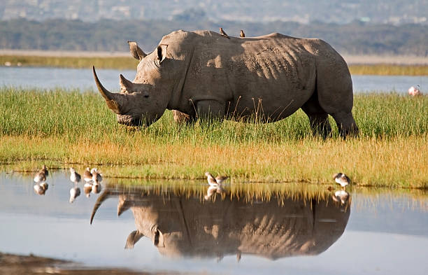Rhino réflexion - Photo