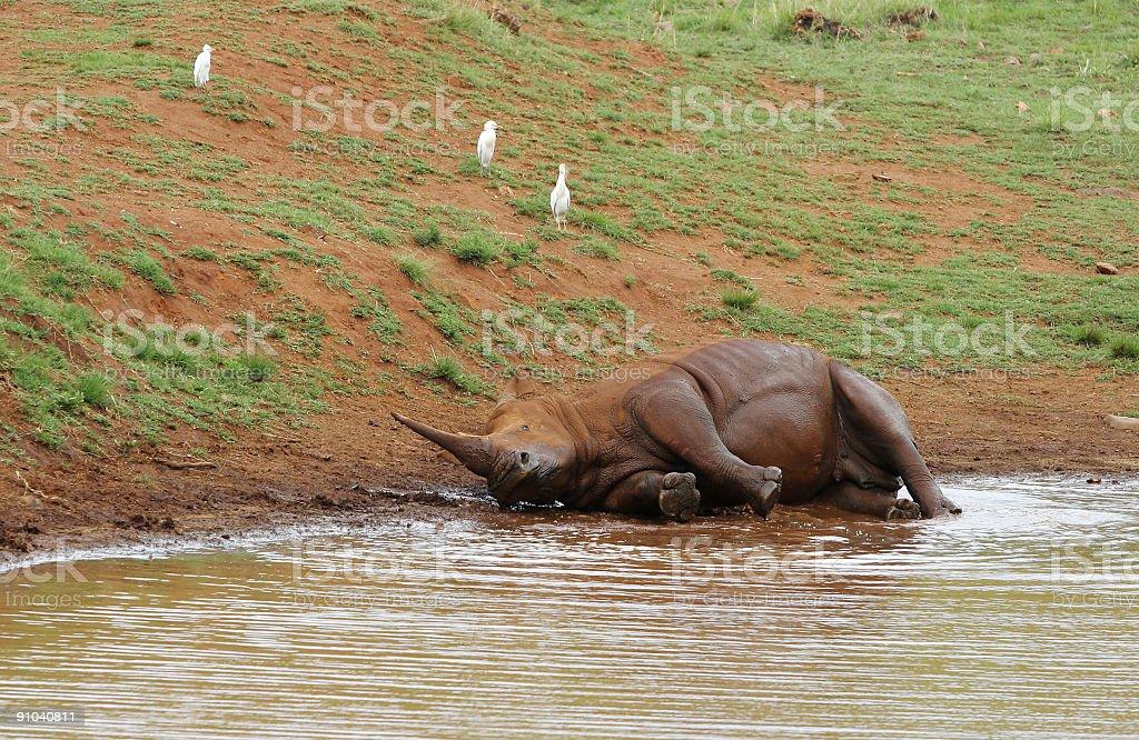 Rhino taking a Mudbath two royalty-free stock photo