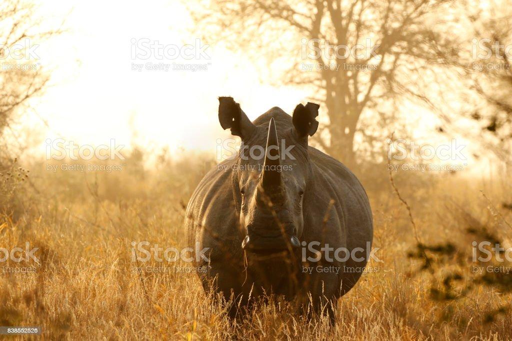 Rhino White African lowveld wildlife safari game drive Kruger savanna nature Rhino White African lowveld wildlife safari game drive Kruger savanna nature Africa Stock Photo