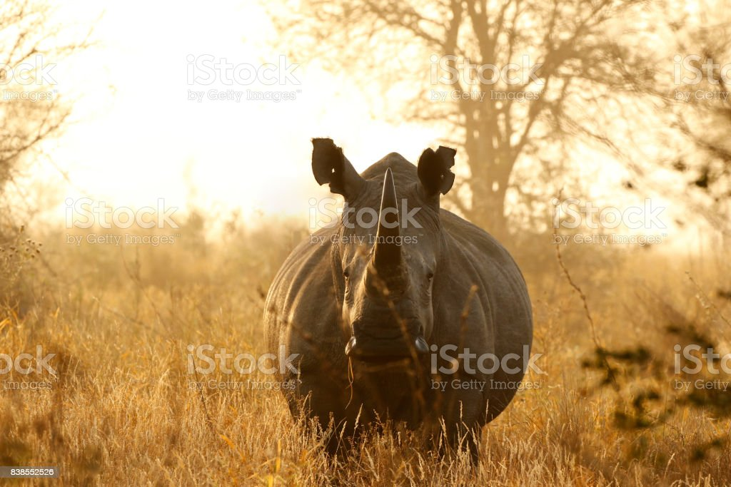 Rhino White African lowveld wildlife safari game drive Kruger savanna nature stock photo