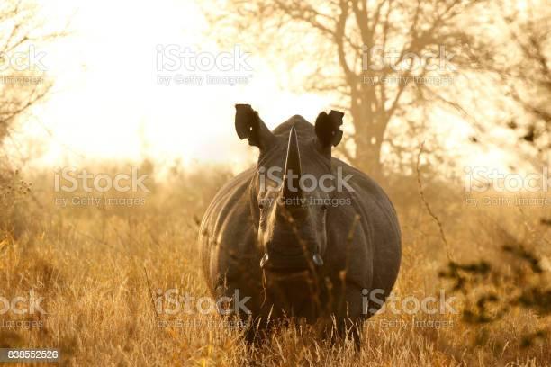 Rhino White African Lowveld Wildlife Safari Game Drive Kruger Savanna Nature Stock Photo - Download Image Now