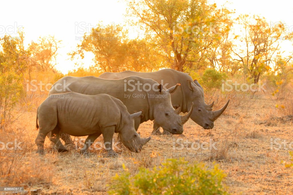 Rhino white family Kruger Africa wildlife savanna lowveld safari nature stock photo