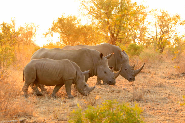Rhino white family Kruger Africa wildlife savanna lowveld safari nature Rhino white family Kruger Africa wildlife savanna lowveld safari nature rhinoceros stock pictures, royalty-free photos & images