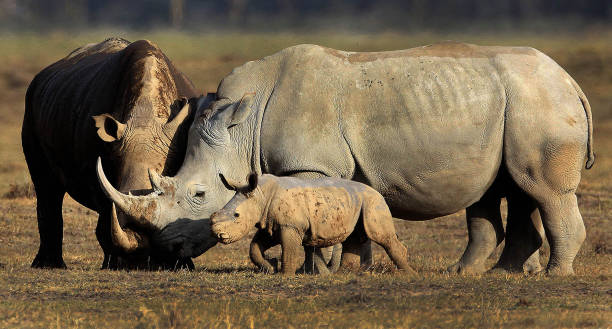 Rhino with Baby stock photo