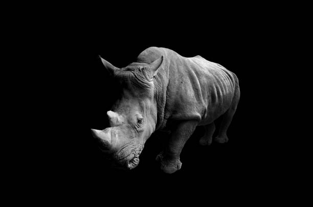 Rhino with Black Background Rhino with Black Background rhinoceros stock pictures, royalty-free photos & images