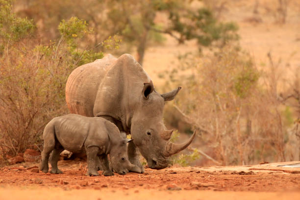 Rhinoceros African wildlife safari animals wilderness savanna white mother baby Rhinoceros African wildlife safari animals wilderness savanna white mother baby kruger national park stock pictures, royalty-free photos & images