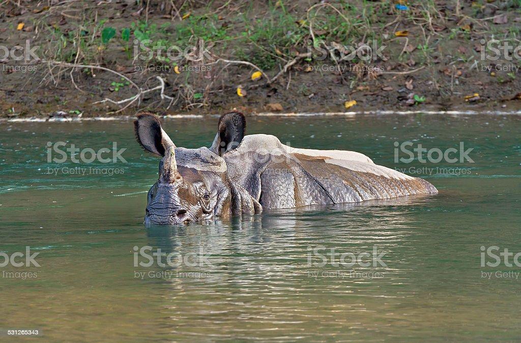 Rhinoceros bathing in river stock photo