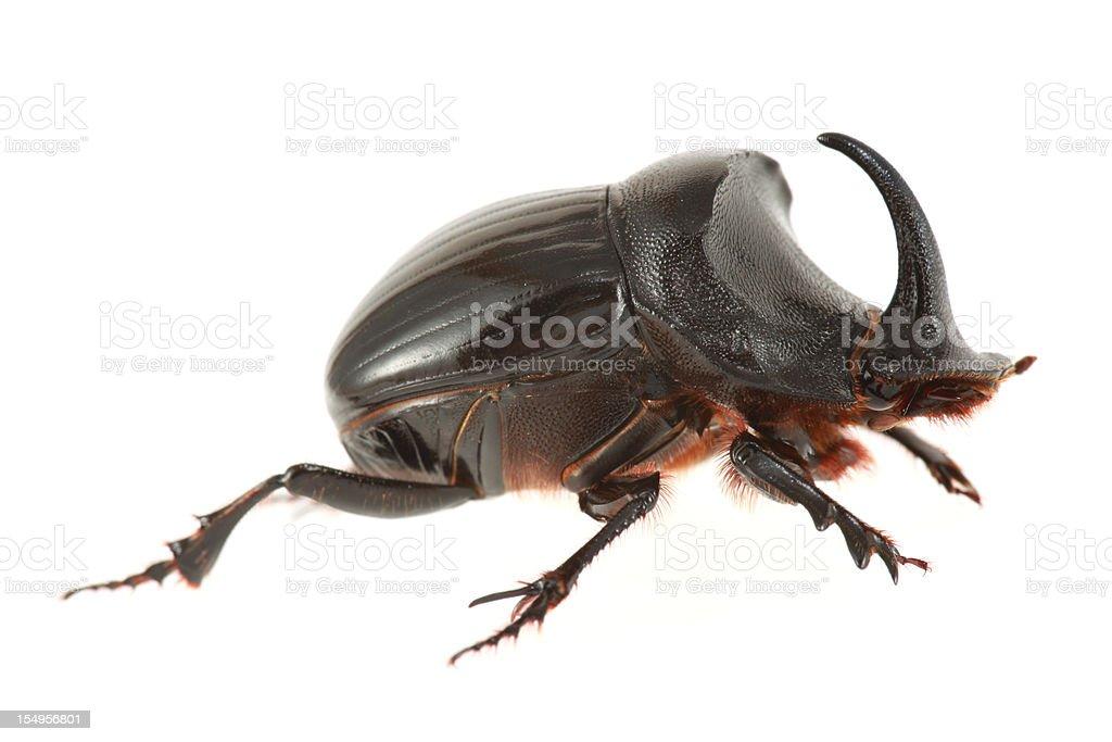 Rinocerontes beetle isolada no branco