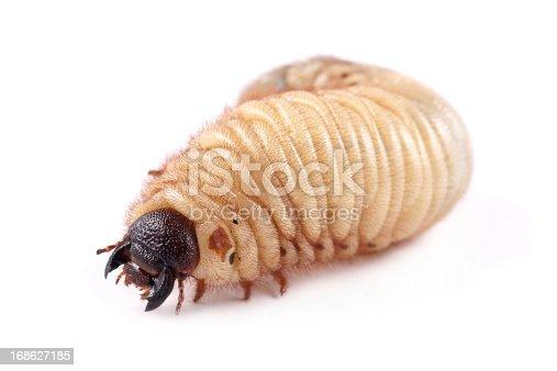 Rhinoceros beetle (Xylotrupes gideon), larva on white background