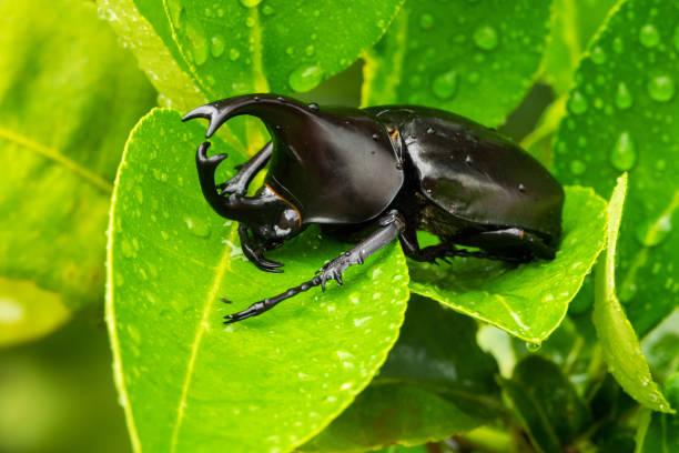 Rhinoceros Beetle Male Close Up stock photo