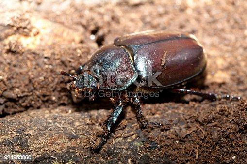 Rhinoceros beetle Male female