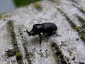 A Rhinoceros Beetle crawls across a Birch log