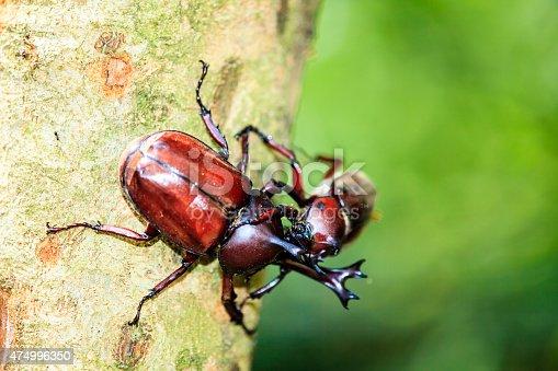 Rhinoceros beetle, Rhino beetle, Hercules beetle, Unicorn beetle for adv or others purpose use